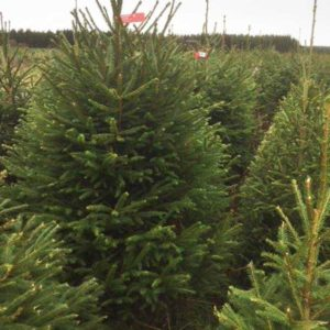 Feddal Christmas Trees | Norway Spruce Christmas Tree