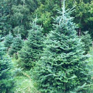 Fraser Fir Christmas Tree from Feddal Christmas Trees
