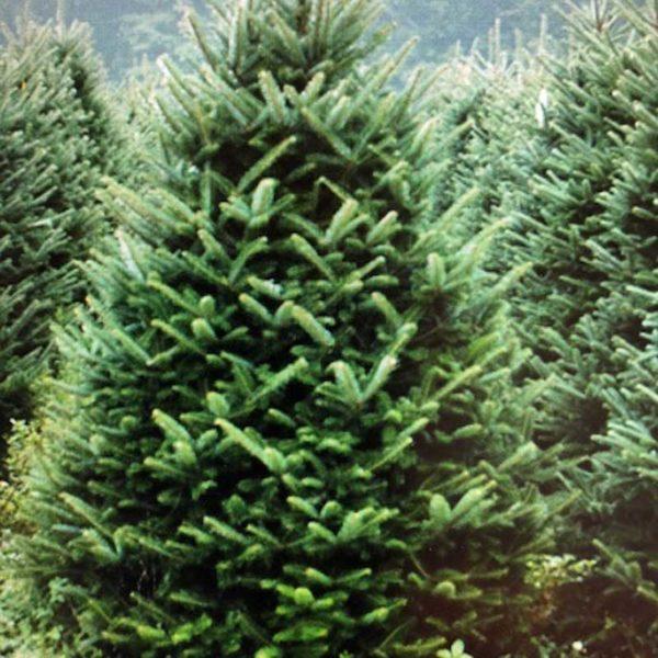 Fraser Fir Christmas Tree Available from Feddal Christmas Trees