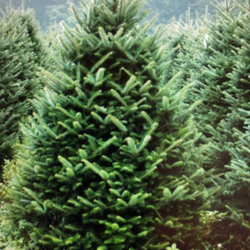 Fraser Fir Christmas Trees.Fraser Fir Feddal Christmas Trees Mso Spurway