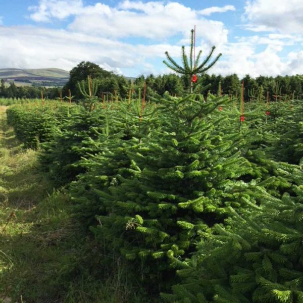 Nordman Fir Christmas Tree Available from Feddal | MSO Spurway