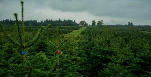 Feddal Christmas Trees | Nordmann Fir