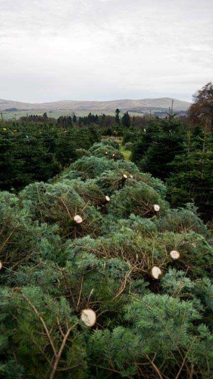 Feddal Christmas Trees | Nordman Fir