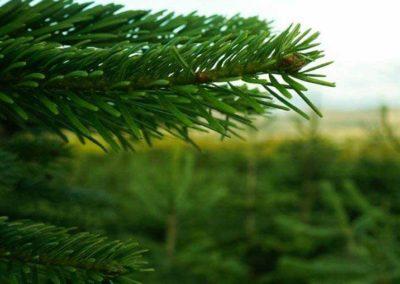 Feddal Christmas Trees | Norway Spruce