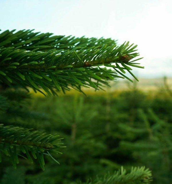 Feddal Christmas Trees | Norway Spruce